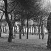 Beach Pines