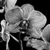 Killer Orchid