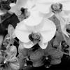 Orchids #5