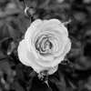 Rose 2010 #1