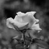 Rose 2010 #2