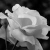 Rose 2010 #3