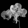 An Orchid in the Night